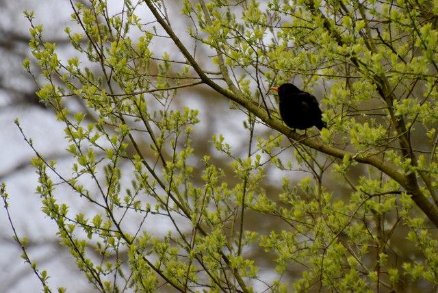 Blackbird, Cranny