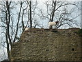 SO4870 : Goats at Richards Castle by Fabian Musto