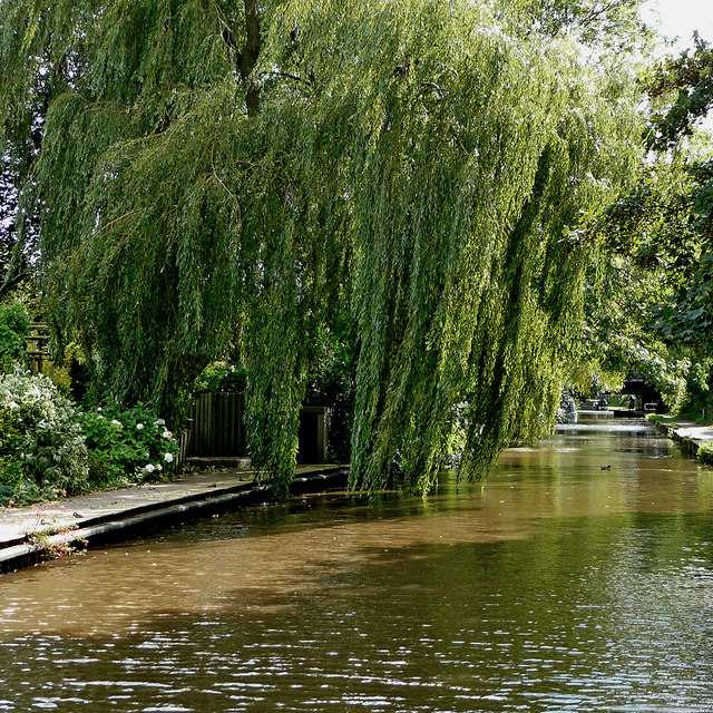 Weeping willow near Trentham in Stoke-on-Trent