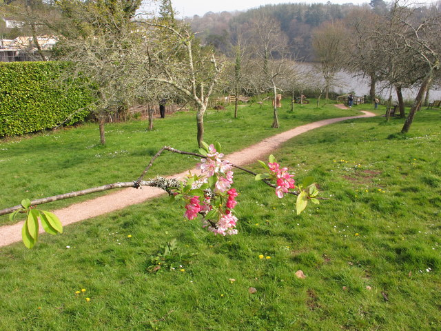 Stoke Gabriel Community Orchard with apple blossom