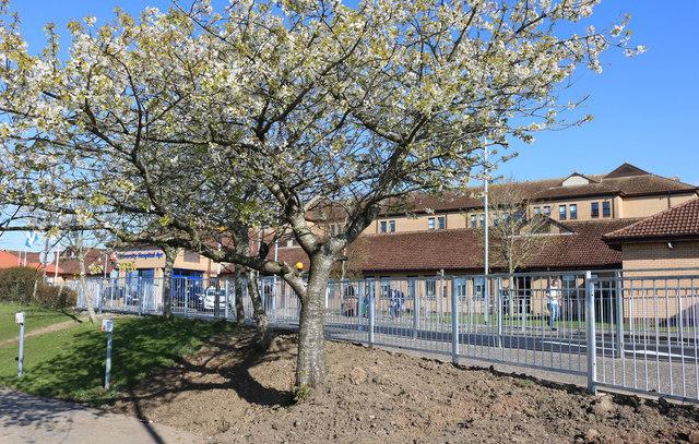 New Blossom at Ayr Hospital