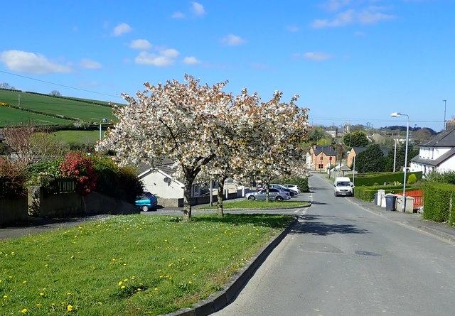 Flowering trees at Old Road, Poyntzpass
