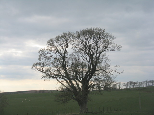 Old Sycamore at Elsrickle