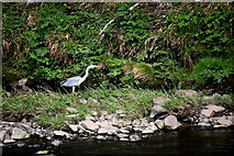 H4473 : Grey heron, Lisanelly by Kenneth  Allen