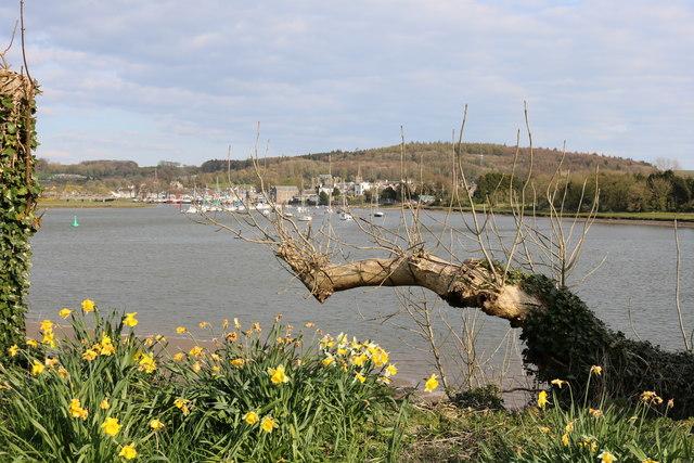 Daffodils beside the Dee