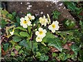 NH7967 : Primrose in the woodland by Cromarty House by valenta