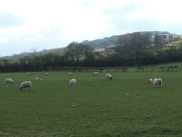 Sheep grazing below Backandsides Farm