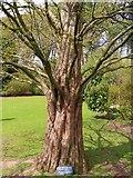 NO3901 : Redwood Tree by Bill Kasman