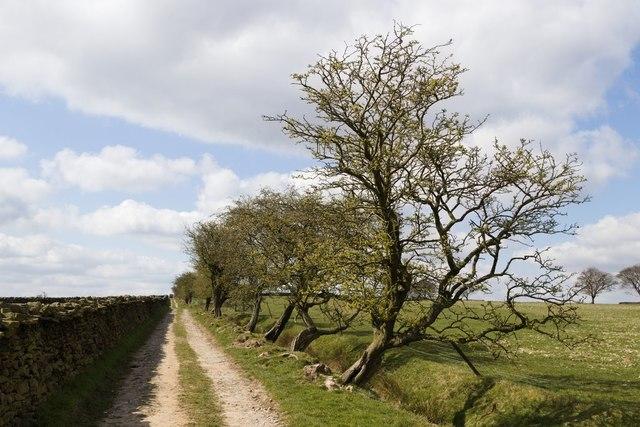Hawthorn Bushes, Spittle Ings