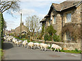 SE0352 : Driving sheep through Draughton by Stephen Craven