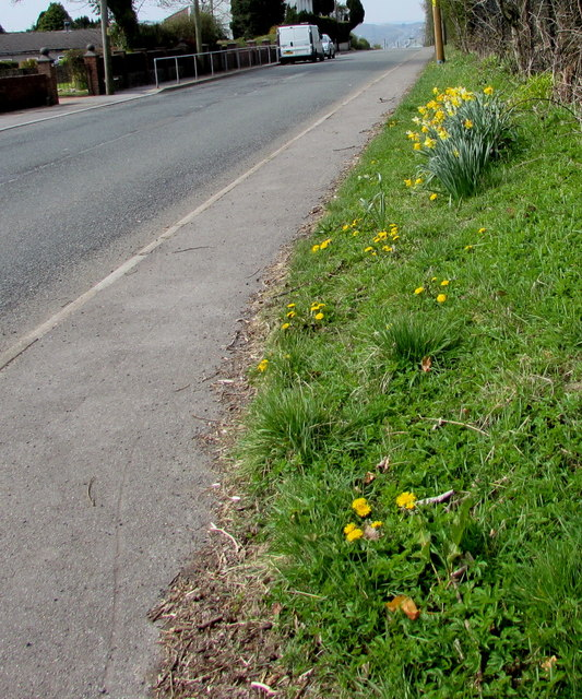 Bank of daffodils in Princetown