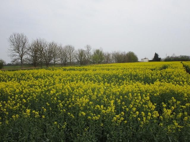 Oilseed rape and Turnhouse Farm