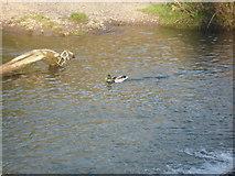 SO5074 : Mallard at The River Teme (Ludlow) by Fabian Musto