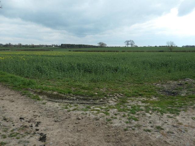 Oilseed rape crop, west of West Leaside