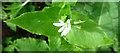 NJ2950 : Wood Stitchwort (Stellaria nemorum) by Anne Burgess
