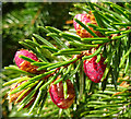 NJ3049 : Norway Spruce (Picea abies) by Anne Burgess