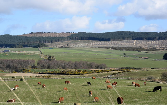 Cows and sheep in the Aberdeenshire countryside