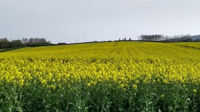 Field of oil seed rape from Jubilee Cottages