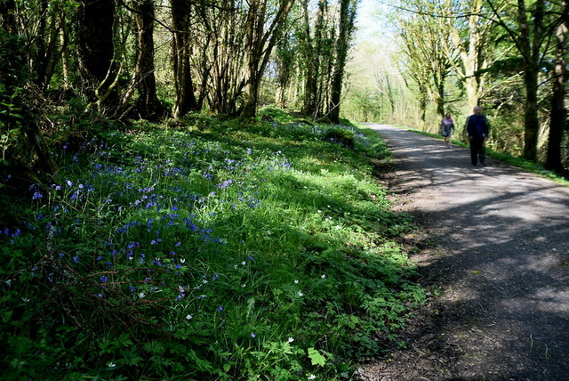 Bluebells along a forest path