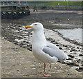 SH4762 : Seagull at Caernarfon by Mat Fascione