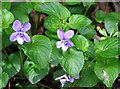 TG2408 : Common dog violets (Viola riviniana) by Evelyn Simak