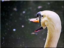 SD7706 : The Noisy Swan by David Dixon