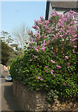 SX9364 : Lilac, Wellswood by Derek Harper