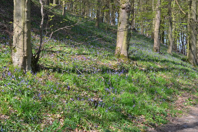 Bluebell woods beside the path