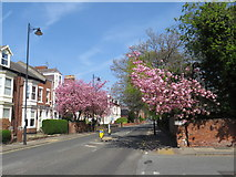 NZ3955 : Spring colour on Tunstall Road, Sunderland by Malc McDonald