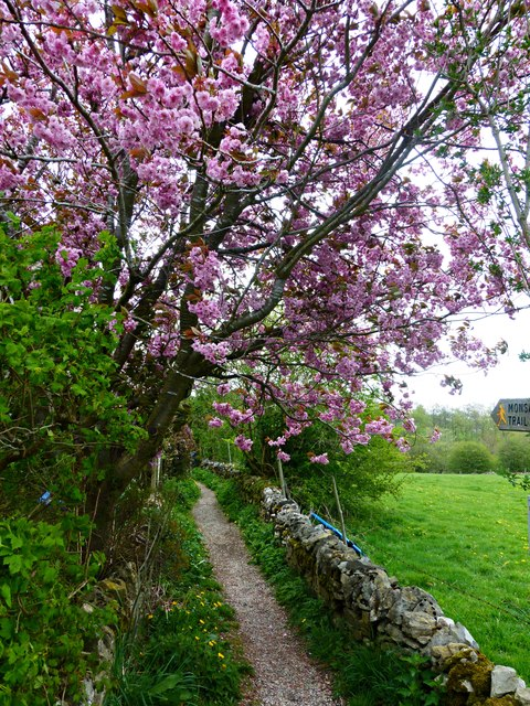 Cherry Blossom by the footpath