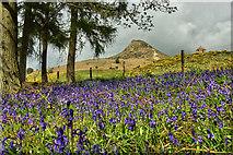 NZ5712 : Bluebells, Newton Wood by Mick Garratt