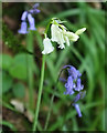 SX8281 : White bluebell, Greatrock Copse by Derek Harper