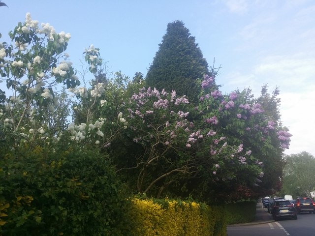 Lilac bush on Corringham Road, Hampstead Garden Suburb