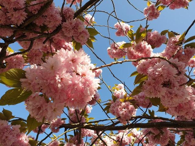 Cherry Blossom, London N14