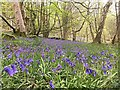 SK2577 : Bluebells in Hay Wood by Graham Hogg