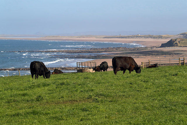 Grazing cattle at Sea House