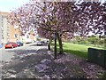 NT3372 : Cherry blossom on Eskside West by Oliver Dixon