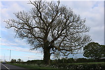 SP4775 : Tree on Rugby Road, Long Lawford by David Howard