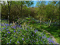 NR2767 : Bluebells In Gruinart Plantation by Mary and Angus Hogg