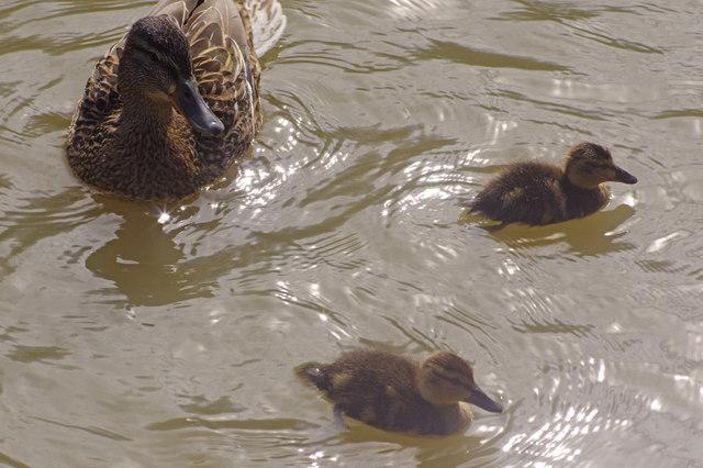 Mallard duck and chicks - Oxford Canal