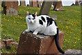 NS3526 : A churchyard cat by Walter Baxter