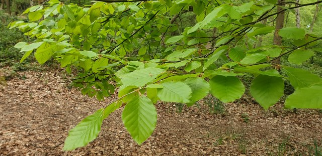 Young Beech Leaves in Trent Park