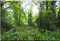 TL9095 : Scrub woodland beside path by David Pashley