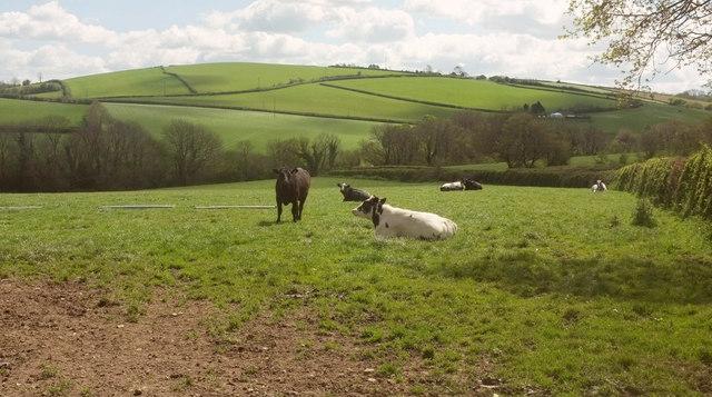 Cattle pasture near Portford Bridge
