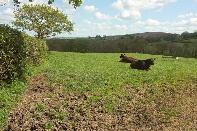 Cattle near Hollick