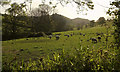 SS6129 : Sheep, Bydown by Derek Harper