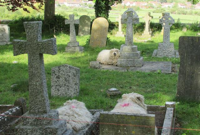 Sheep in churchyard, Aller