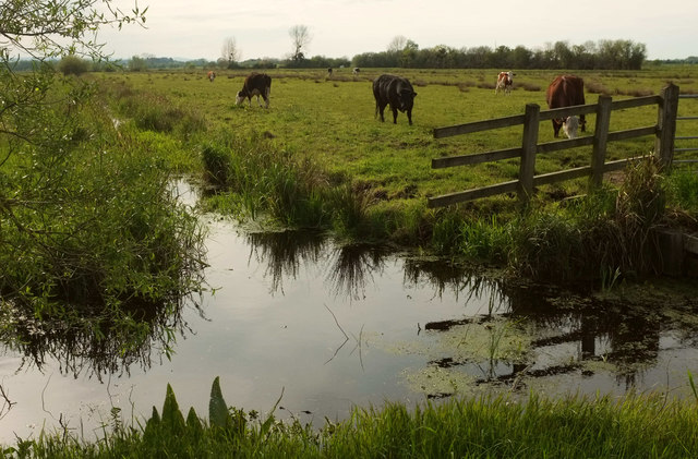 Cattle by Two Mile Rhyne