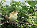 ST4132 : Sedge warbler, Beer Drove by Derek Harper