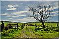 H1980 : Lane and tree, Speerholme / Gortnagross by Kenneth  Allen